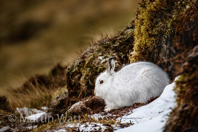 Mountain Hare, sheltering in a scrape next to snow.