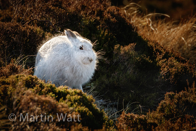 Mountain Hare - Wrong Camouflage